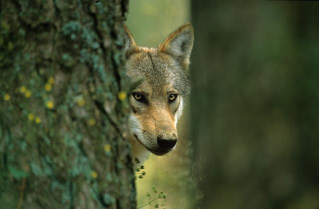 Welkom wolf