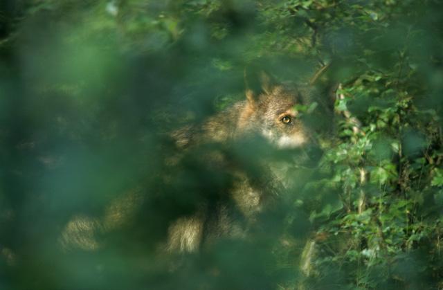 De wolf verblijft ongezien in Nederland