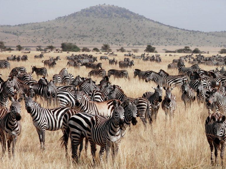 Waarom ontbreken de rugstrepen bij deze zebra?