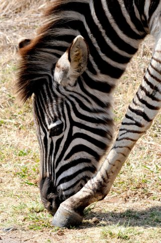 zebra poot