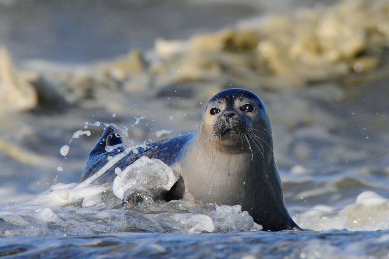 Drinkt een zeehond zeewater?