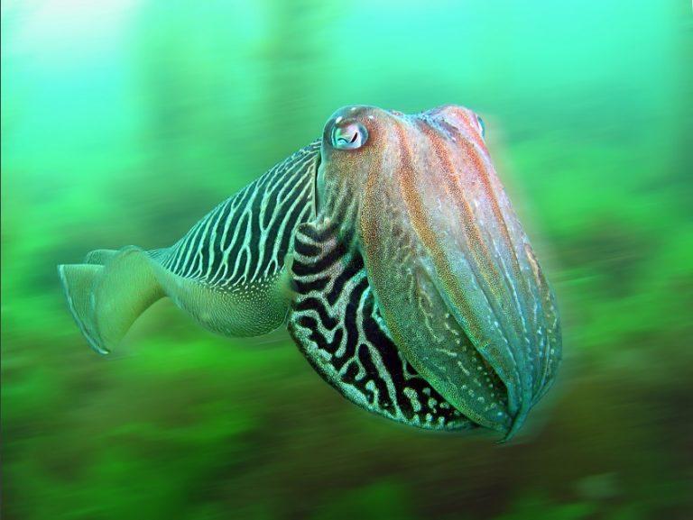 De schubben van de zeekat