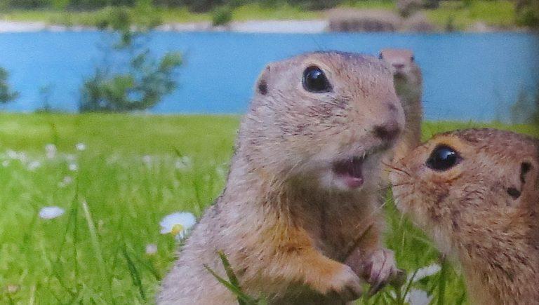 Grondeekhoorn of eekhoorn?