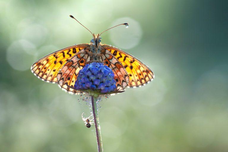 Junidip voor vlinders blijft uit