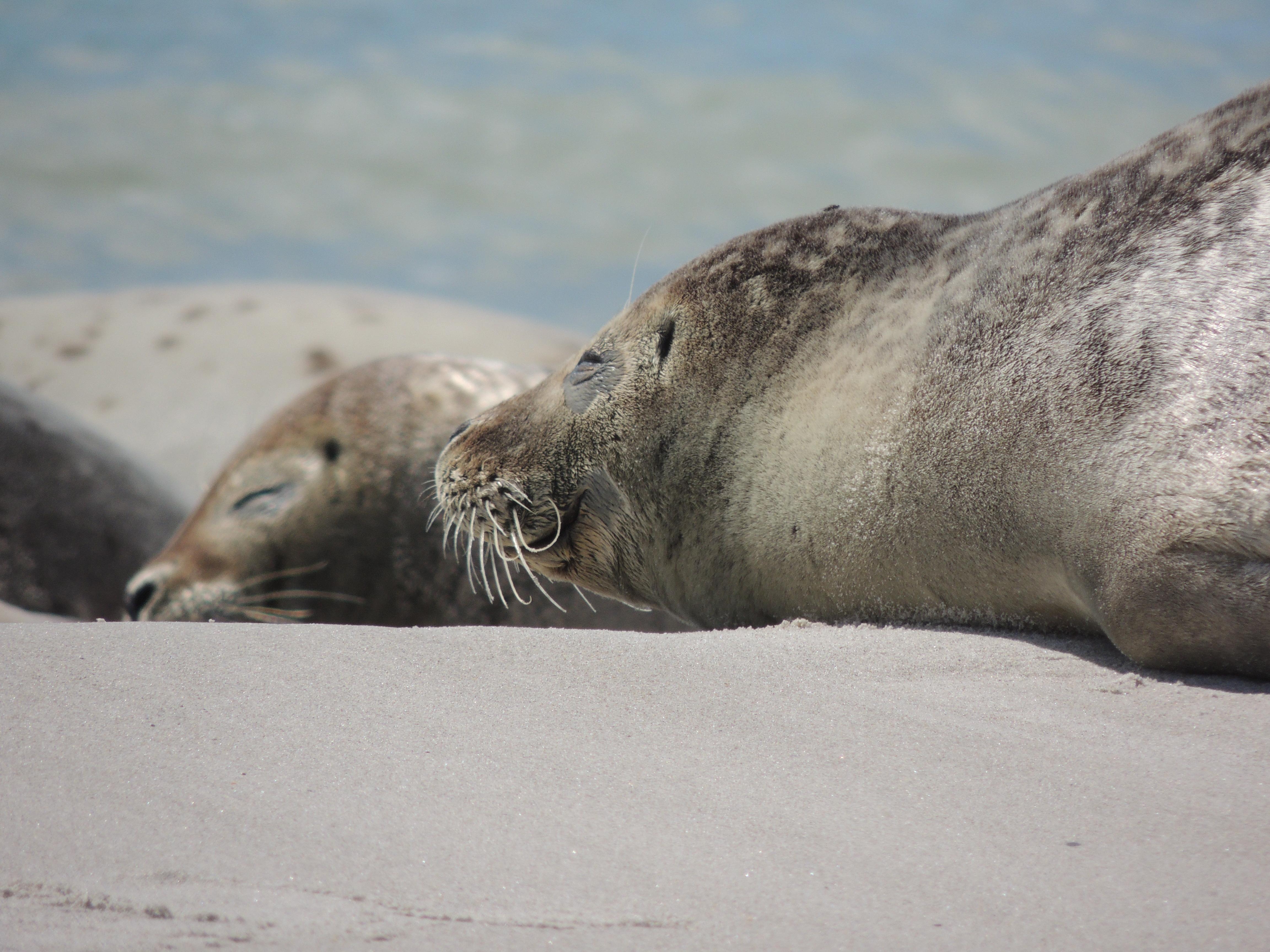Zonnende zeehonden