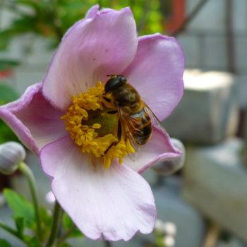 Méh a szellőrózsán