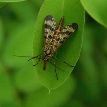 Skorpiófátyolka