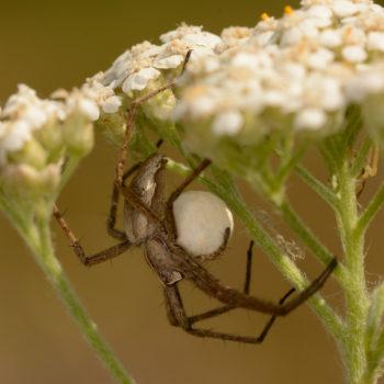 Csodáspók - Pisaura mirabilis