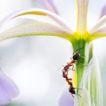 Hangyák (Formicidae)