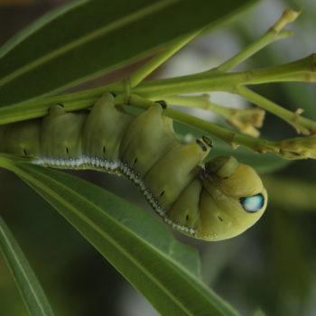Oleanderszender hernyója