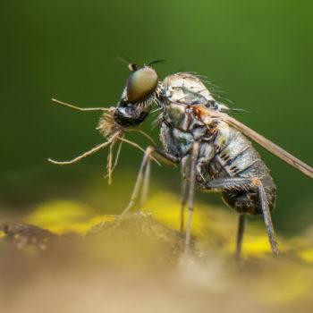 Szúnyoglábú légy zsákmányával