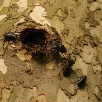 Szarvasbogarak és méhek