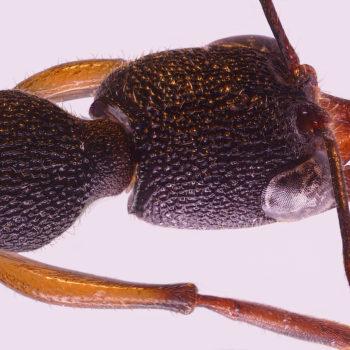 Harpegnathos venator - A ragadozó