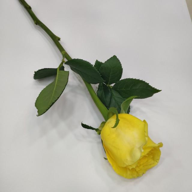 ورده جوري أصفر ليتل روز Little Rose