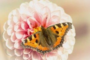butterfly-1639168__340