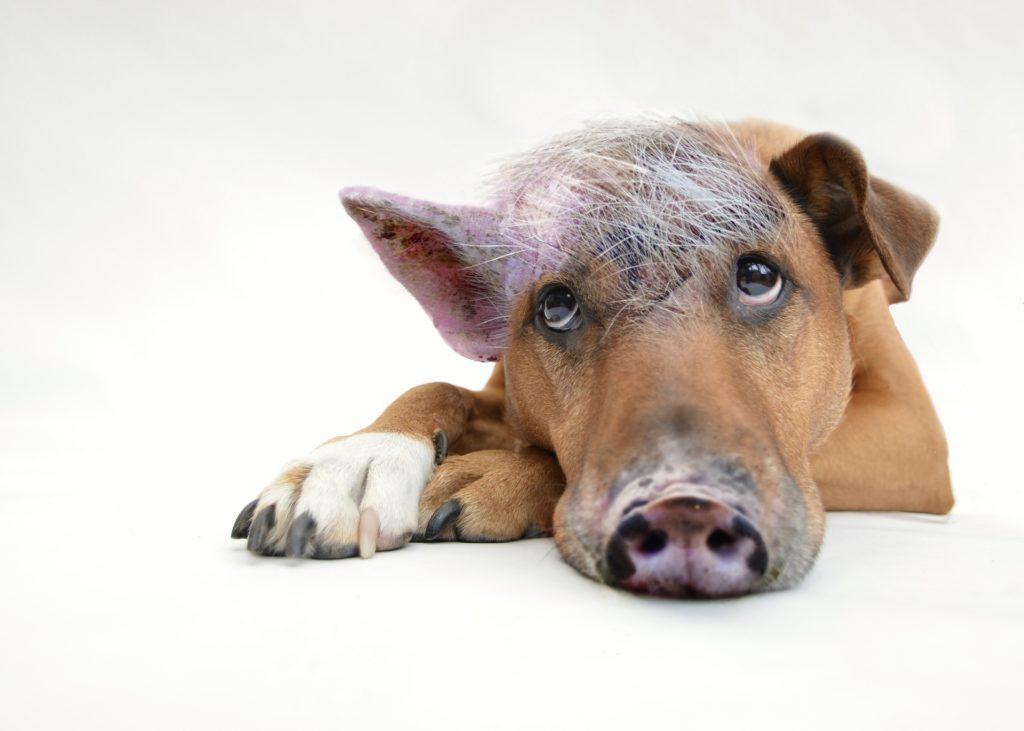 Der Schweinehund hindert Dich am Durchhalten