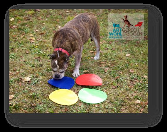Kreative Unterscheidungsaufgaben für Hunde – intelligente Beschäftigung auf kleinem Raum