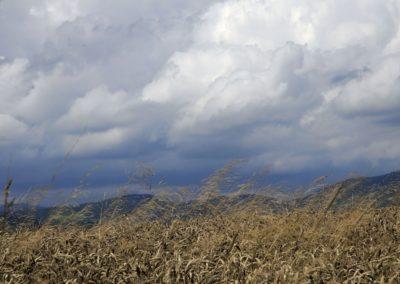Kornfeld-vor-Gewitterhimmel