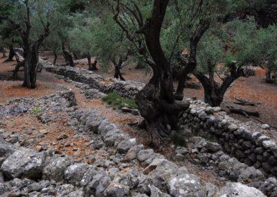 Olivenhain-mit-Mauern