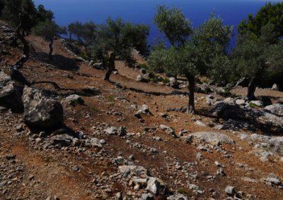 Olivenhain-mit-Meer
