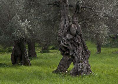 Olivenskulptur-1