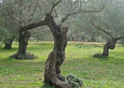 Olivenskulptur-3