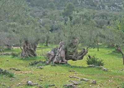 Olivenskulptur-4