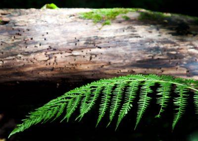 Farnbaumstruktur
