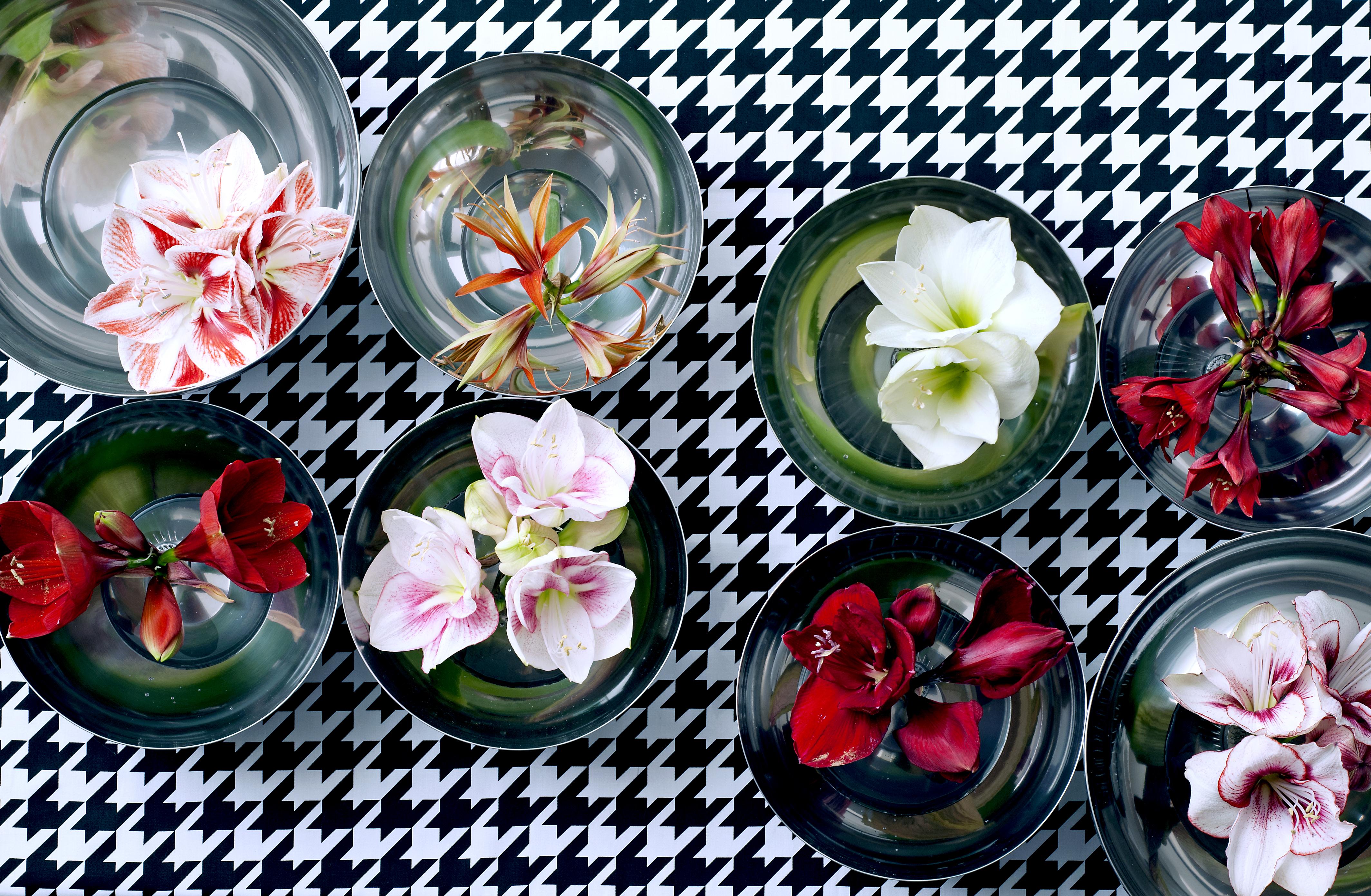 Beeindruckende Amaryllisblüten von Weiß über Rosé bis Rot