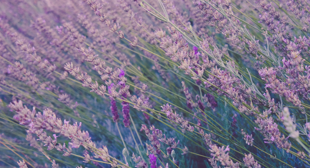 Lavendelöl selber machen aus natürlich Zutaten