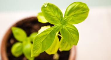 Eine Basilikum Pflanze in einem Topf mit Erde