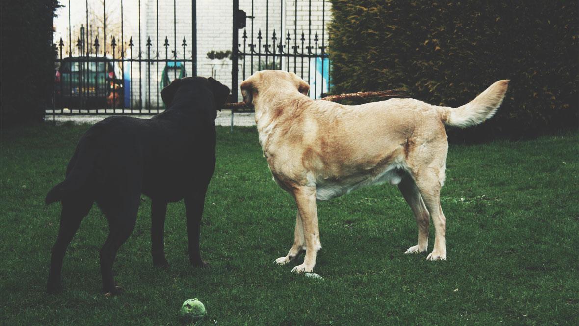Zwei Hunde stehen vor dem Gartentor