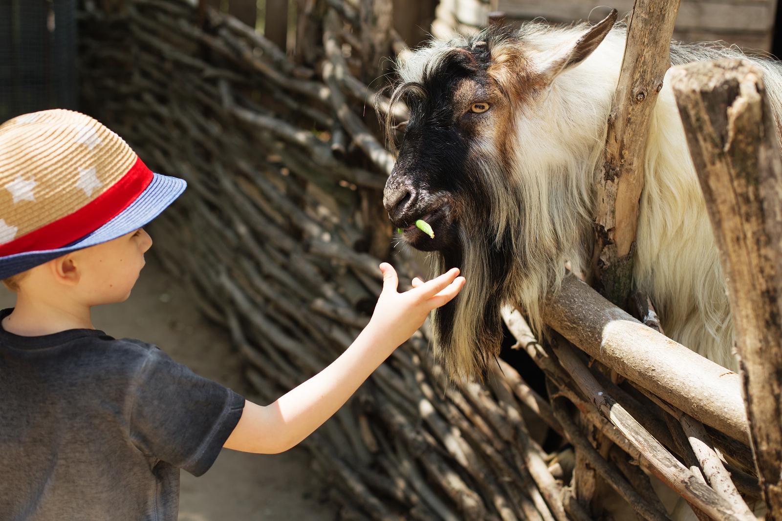 Junge streichelt eine Ziege in einem Zoo