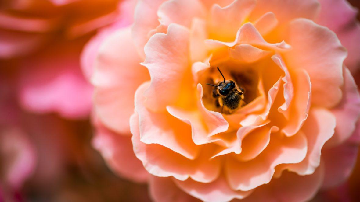 Blumen für Bienen sollte jeder auf dem Balkon oder im Garten haben.