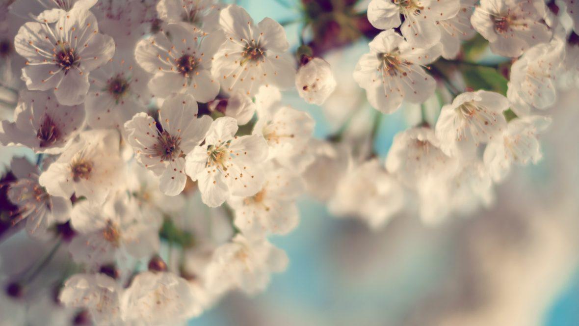 Die Kirschblüte ist nicht nur schön anzusehen, aus ihr kann man auch tolle Kosemtik machen.