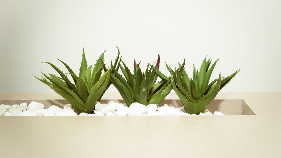 Aloe Vera ist heilsam auf vielen Ebenen.