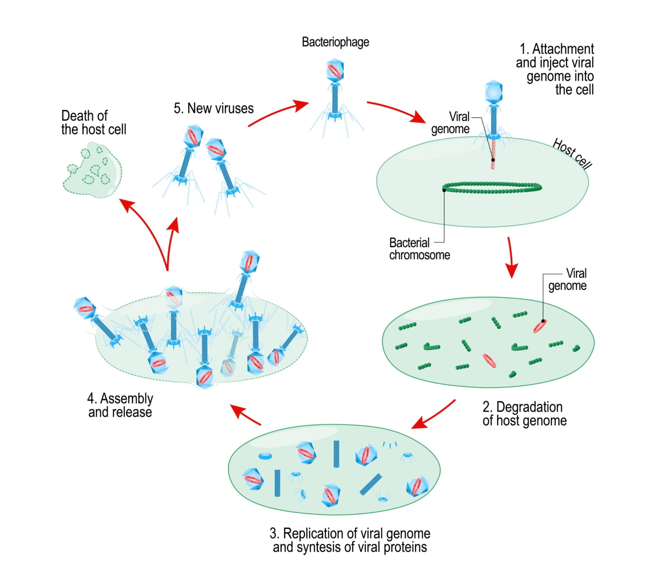 Viruses and how they work micro issue 3 techni k smart knowledge virus reproduction ccuart Choice Image