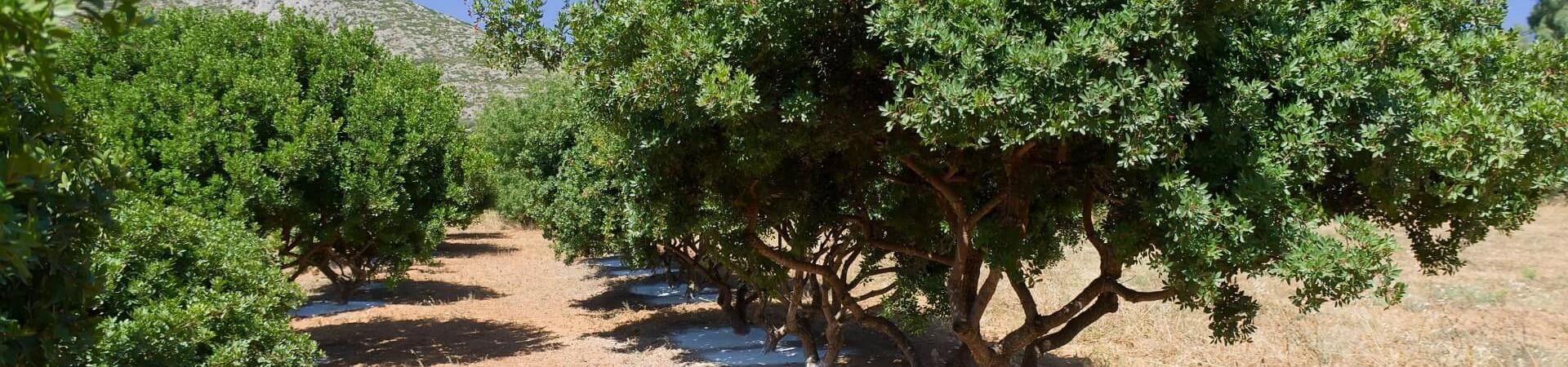 Drzewo mastyksowe
