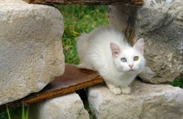 Koty Wan Turcja