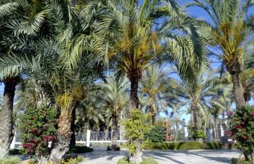 Gaje palmowe w Elche