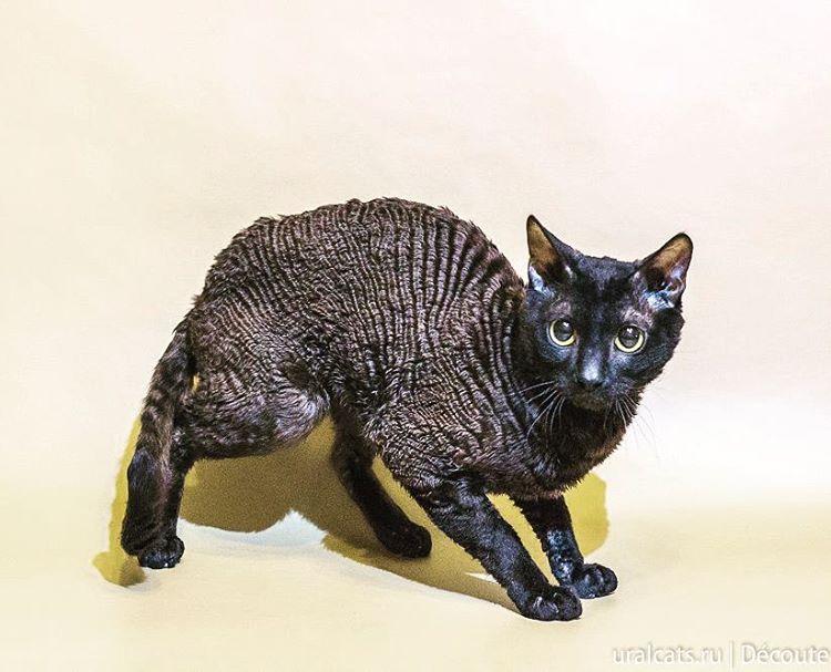 Ural rex cat