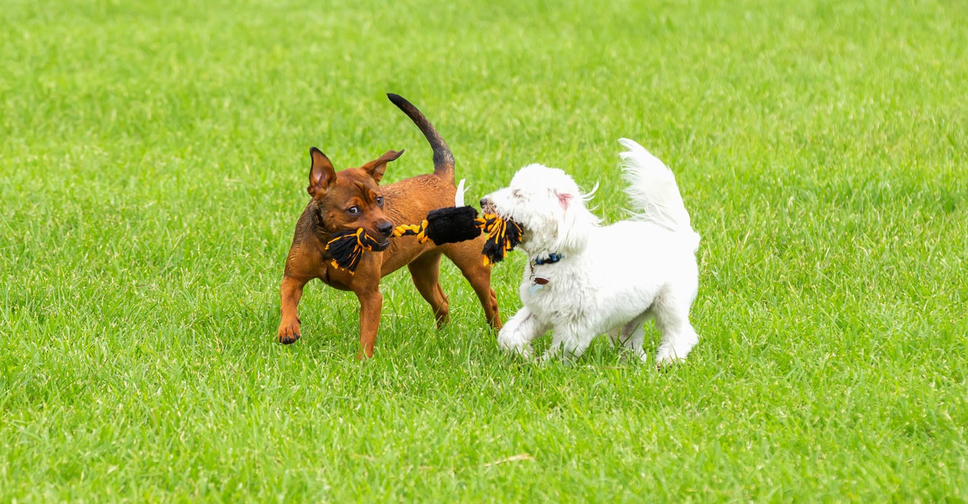 Zwei Hunde spielen Tauziehen auf einer Wiese