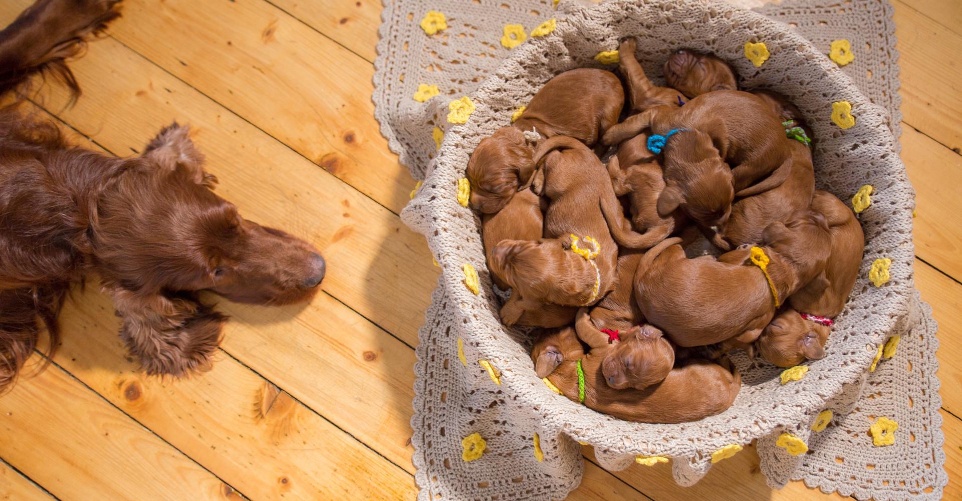 Hundewelpen und Hundemama von oben