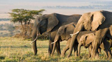 Künstliche Intelligenz zählt Elefanten- und Koalabären-Bestände