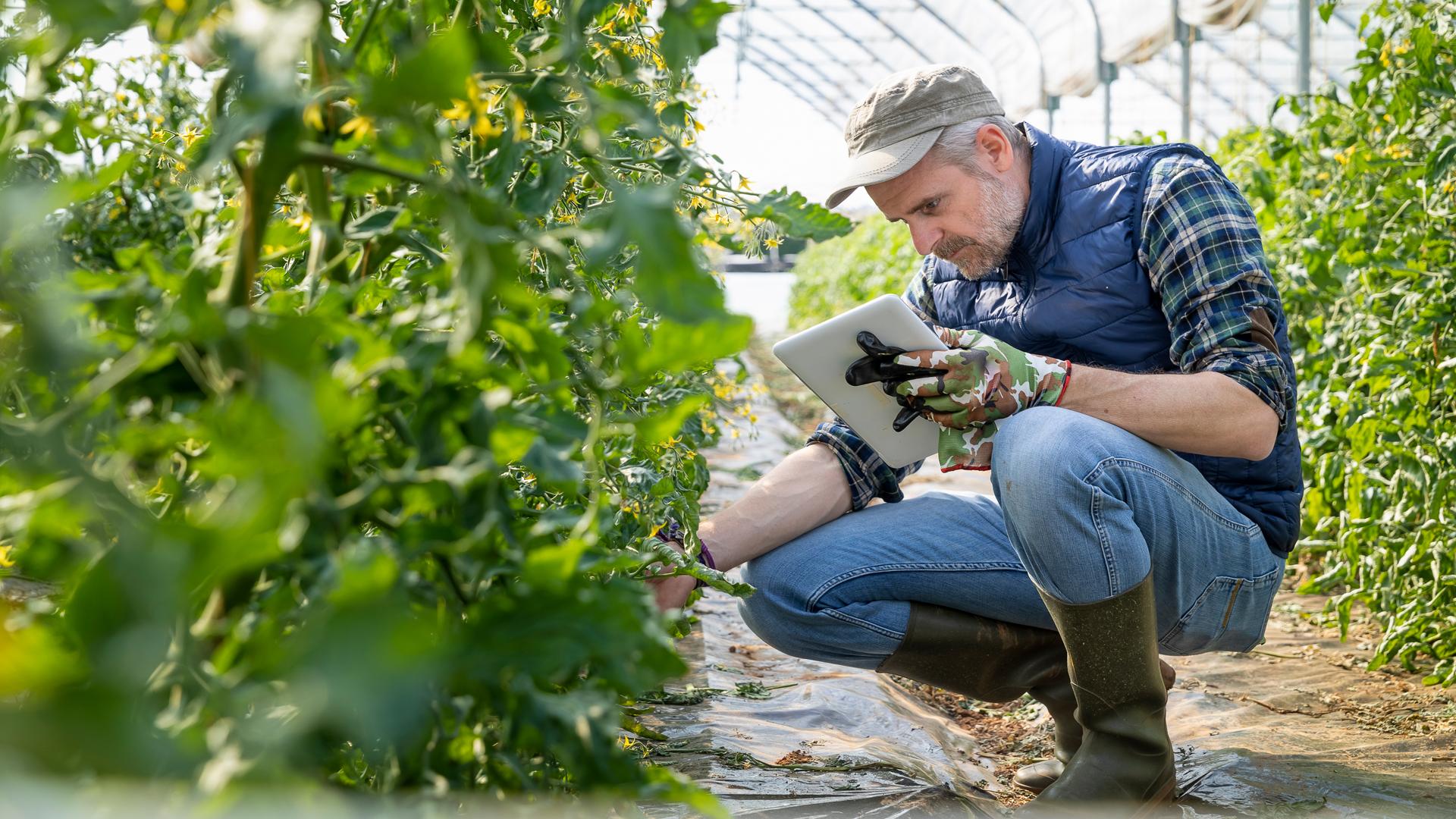 Ein Landwirt überprüft Nutzpflanzen in seinem Gewächshaus, in der Hand hält er ein Tablet.