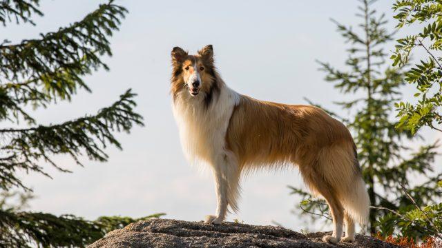 Lassie: Eine abenteuerliche Reise_Lassie