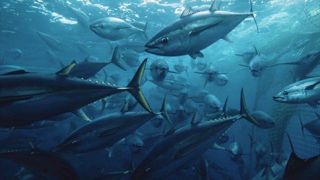 Thunfische schwimmen im Schwarm vor einem Fischernetz weg.