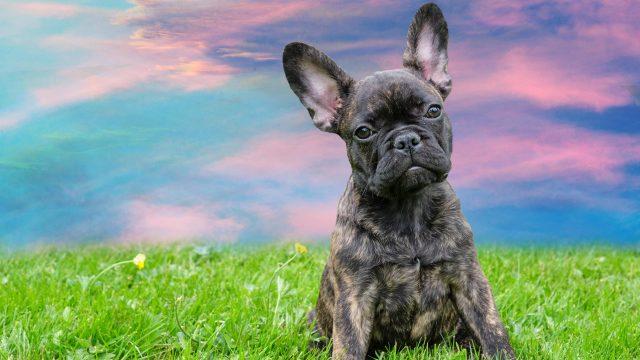 Hund fotografieren (Französische Bulldogge)