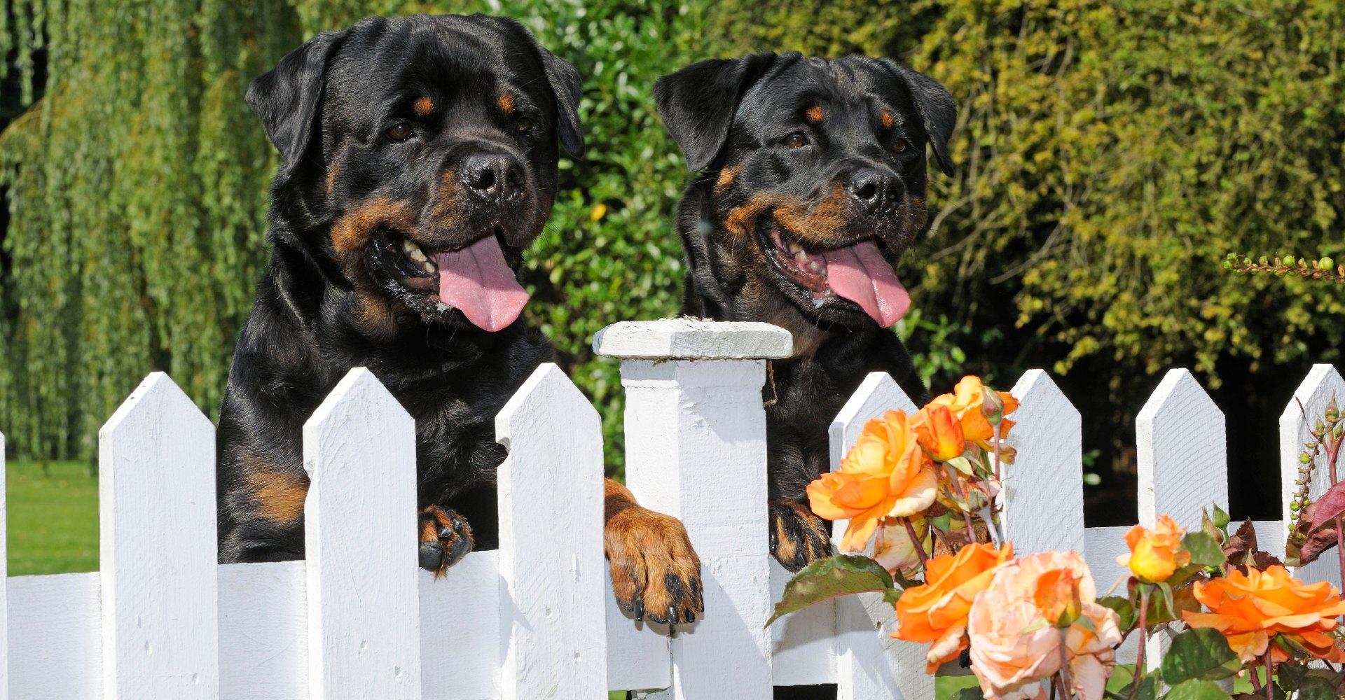 Hund fotografieren (Rottweiler)