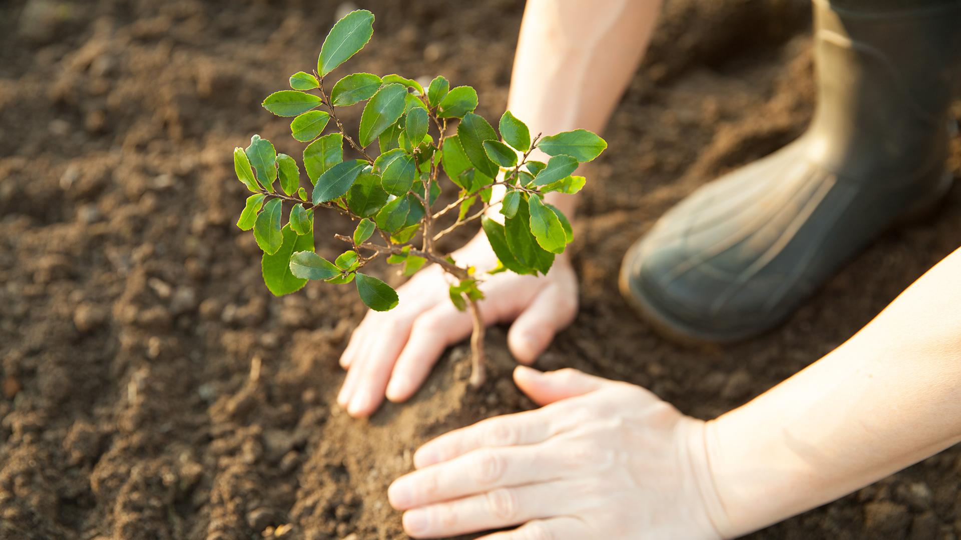 Zwei Hände pflanzen einen kleinen Baum in der Erde.